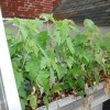 Weeds in rain gutter